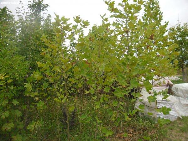 Eladó platán fa és hegyi juhar fák