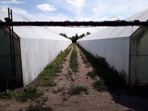 1.5 hektáros területen 8000m2 fűtött fólia