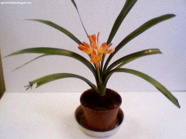 Clívia szobanövény