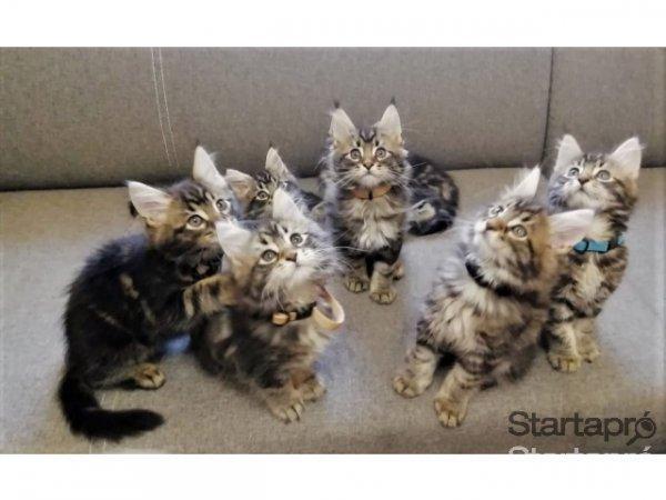Eladó Maine Coon cicák