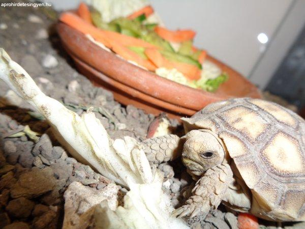 Sarkantyús teknős bébi, akár teljes felszereléssel